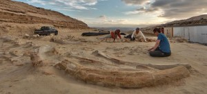Enormous whale fossils being excavated from sediments in Chile. From Cerro Ballena, Smithsonian. cerroballena.si.edu