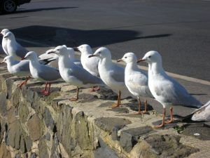 Seaguls on basalt wall Cowes